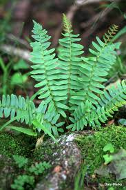plants native to illinois 3 easy ferns you can identify on your next hike in southern illinois