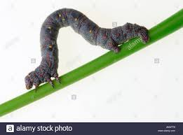 caterpillar inchworm moth stock photos u0026 caterpillar inchworm moth