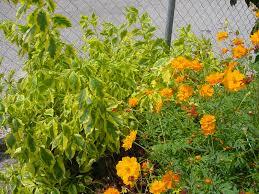 native brazilian plants plantanswers plant answers u003e duranta a texas superstar plant