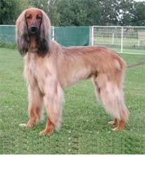 does an afghan hound shed afghan hound breed information history health pictures and more