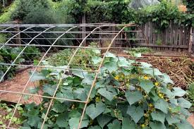 Can Cucumbers Grow Up A Trellis Arc De Cucumis Organic Gardener Magazine Australia