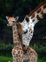 s day giraffe 154 best giraffes images on animals drawings and