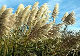 q a with feather ornamental grass doesn t like to let go