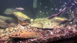 native plants missouri missouri native stream fish aquarium youtube