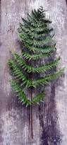 houseplants easy to find easy care ferns dengarden