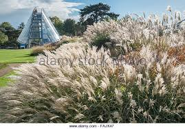 ornamental grass autumn uk stock photos ornamental grass autumn