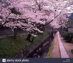 cherry blossoms philosophy way kyoto shi kyoto japan river