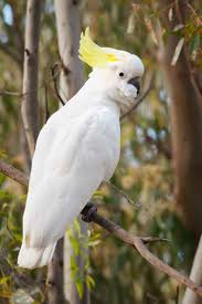 194 best cocktoos images on pinterest birds nature and parrots