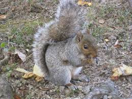 capital naturalist by alonso abugattas black gray squirrels