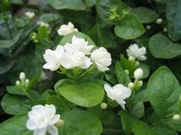 Jasmine Flowers White Jasmine Flowers Online White Jasmine Flowers For Sale