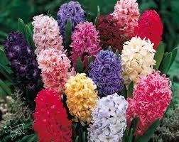 hyacinth flower hyacinth flower flower meaning dictionary auntyflo