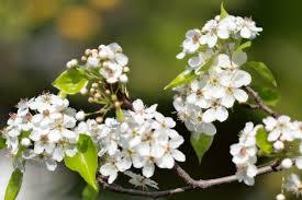 file pyrus calleryana callery pear blossom jpg wikimedia commons