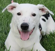 Dogs For The Blind Adoption York Adopt A Pet
