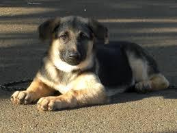 german shepherd puppy widescreen wallpapers og high