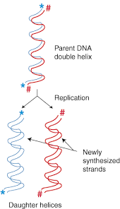 sparknotes dna replication and repair dna replication