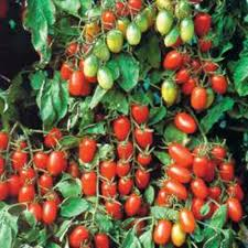 home depot spring black friday 2016 bonnie plants juliet grape tomato live plant vegetable 4 25 in grande live