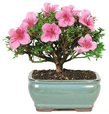 satsuki azalea bonsai tree asian plants by brussel s bonsai