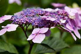 hydrangea how hydrangeas end up stealing the show houston chronicle