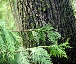 sound native plants the wild garden hansen u0027s northwest native plant database