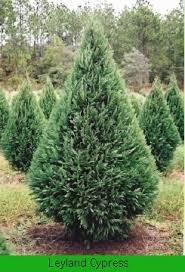 u0027s christmas tree farm