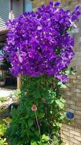 taiga native plants 666 best clematis images on pinterest clematis flowers and plants