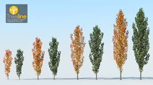 pyrus calleryana capital ornamental pear tree 3dmk