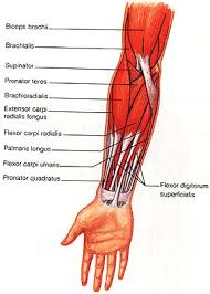 Shoulder And Arm Muscles Anatomy The Flexor Carpi Ulnaris Fcu Muscle Is A Muscle Of The Human