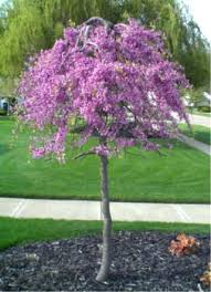 small ornamental trees beyondeight co