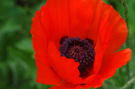 home grown relief the opium poppy the daily sheeple