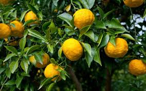 Patio Fruit Trees Uk by How To Grow Yuzu The Telegraph