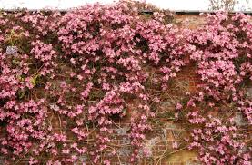 wall flowers wallpaper clematis flowering wall brick hd picture image