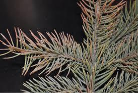 blue spruce nmsu rhizosphaera needle cast disease of blue spruce