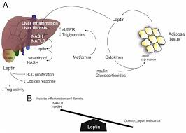 ijms free full text adipokines and non alcoholic fatty liver