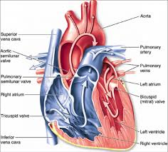 Heart Anatomy And Function Anatomy Of Heart Valve Images Learn Human Anatomy Image