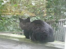 the black cat mystery myth and symbolism exclusivelycats blog