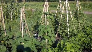 watermelon trellis the geeks garden cuke pole loversiq