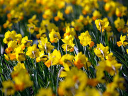 daffodil wallpapers 25 daffodil hd widescreen pictures xmyqr com
