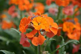 wall flowers plants for kids wallflowers rhs gardening