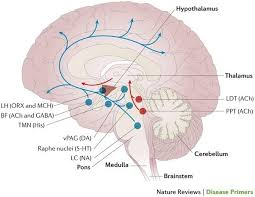 Part Of Brain That Controls Arousal Why Does Large Amounts Of Oxytocin Allow The Brain To Have Less