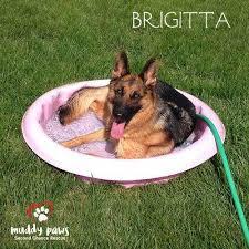 belgian sheepdog rescue ontario dog rescue omaha ne muddy paws second chance rescue