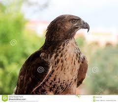 bird of prey stock photo image 49841649