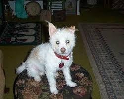 affenpinscher lab mix jack russell terrier mix photos thriftyfun