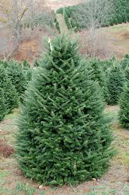 six to seven foot premium fraser fir tree clements trees