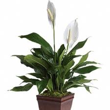 peace lilly peace columbia city bouquet