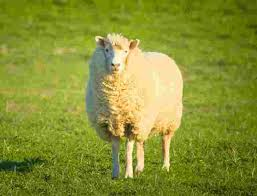 New Zealand Tours  amp  Travel   Intrepid Travel AU Local products are often made from wool in New Zealand