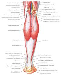 pictures dorsal thigh human anatomy diagram