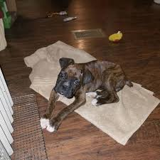 boxer dog 2015 boxers boxer puppies boxer dogs show dogs home facebook