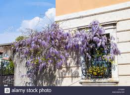 wisteria on building wall stock photos u0026 wisteria on building wall