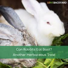 can rabbits eat basil another herbaceous treat