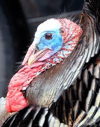 turkey up snood smith designs